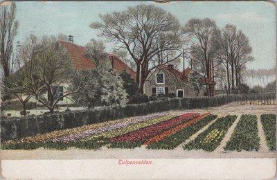 NEDERLAND - Tulpenvelden